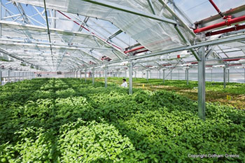 屋上に設置された温室では、様々な葉野菜が一面に育てられている